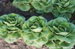画像1: コンパクトレタス・Newham Organic (オーガニック種子)
