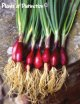 オニオン・BUNCHING ONION LILLIA