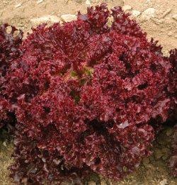 画像1: ロロレタス・DARK RED LOLLO ROSSA OG(オーガニック種子)【固定種】