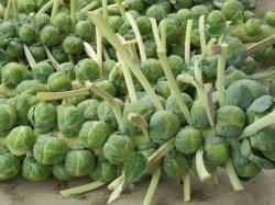 画像3: 芽キャベツ-ブリュッセルスプラウト・ロングアイランド