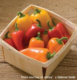 画像3: スイートペッパー・LUNCHBOX RED【固定種・オーガニック種子】