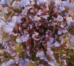 画像3: レタス・Red Salad Bowl【固定種】
