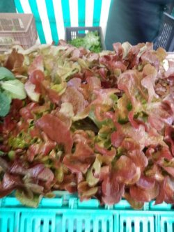 画像2: レタス・Red Salad Bowl【固定種】