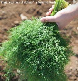 画像1: ハーブ・ディル GOLDKRONE OG (オーガニック種子)