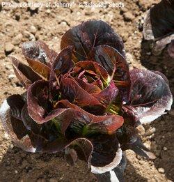 画像1: レタス・ミニロメイン-Truchas OG(オーガニック種子)【固定種】