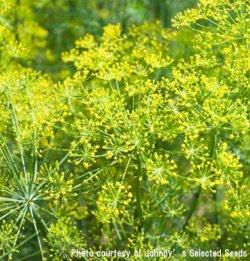 画像1: エディブルフラワー・ディル Bouquet OG【固定種・オーガニック種子】