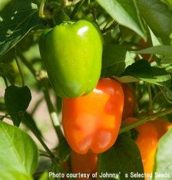 画像2: ハイブリッドスイートペッパー・Eros Organic 【F1種・オーガニック種子】