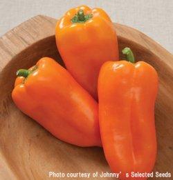 画像2: スイートペッパー・Glow Organic (F1)【オーガニック種子】