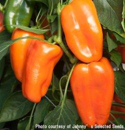 画像1: スイートペッパー・Glow Organic (F1)【オーガニック種子】