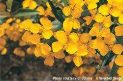 画像1: エディブルフラワー・メキシカンマリーゴールド-Mexican Mint Marigold【固定種】