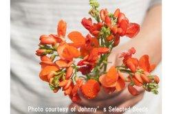 画像1: エディブルフラワー・Scarlet Runner Beans【固定種】