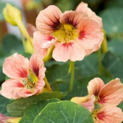 画像1: エディブルフラワー・ナスタチウム Ladybird Rose
