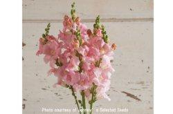 画像1: エディブルフラワー・Chantilly Light Pink(F1)