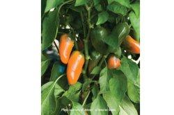 画像1: スイートペッパー・LUNCHBOX ORANGE【固定種・オーガニック種子】