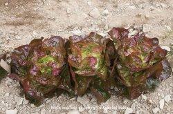 画像1: バターヘッドレタス・Alkindus(オーガニック種子)【固定種】