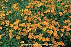 画像1: エディブルフラワー・マリーゴールド-Tangerine Gem【固定種】