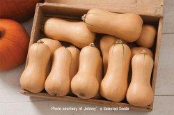 画像1: 食用・バターナッツパンプキン・Butterscotch PMR(F1)【F1種/オーガニック種子】
