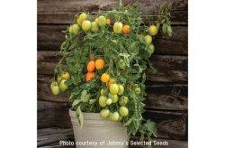 画像2: ハイブリッドソーストマト・Sunrise Sauce(F1)[F1種/支柱・不要]