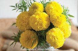 画像1: エディブルフラワー・マリーゴールド Giant Yellow Hybrid (F1) 【F1種】