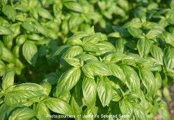 画像1: バジル・ProsperaR(オーガニック種子)【固定種】