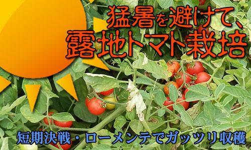 猛暑を避けて、露地トマト栽培